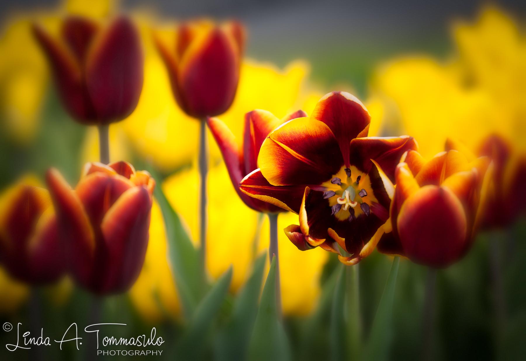 TulipFestival2014_1_MG_4067_Blur