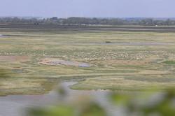 Moutons de pré salé dans la baie de somme visite guidée saint-valery-sur-somme