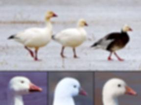Ross Snow Goose.jpg