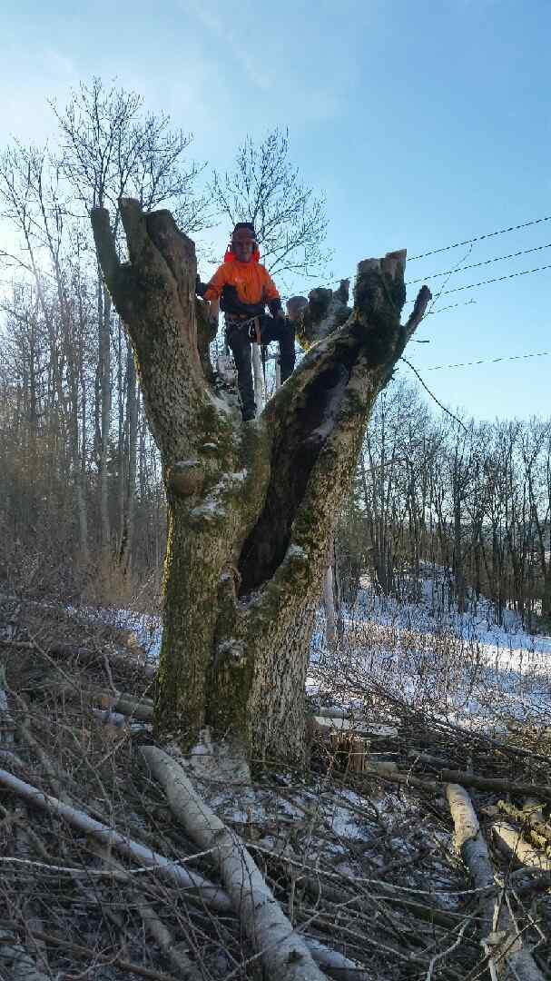 Felle trær langs høyspenttrasé