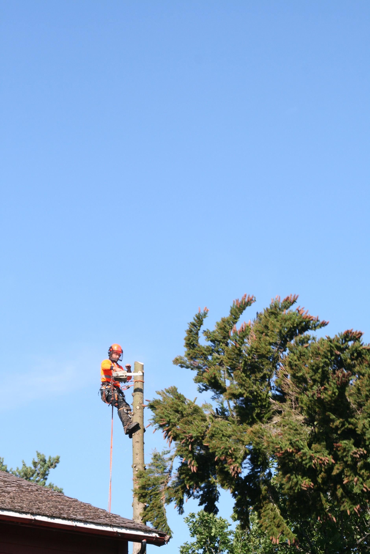 Demontering av gran ved klatring