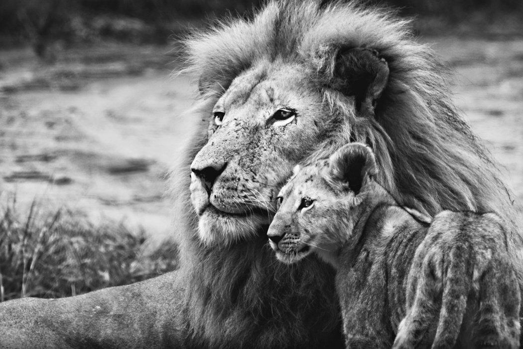 Image result for lion whelp