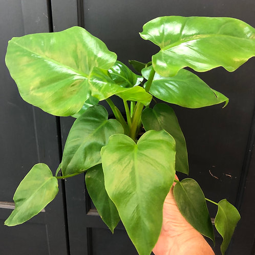 Philodendron 'Giganteum' 6""