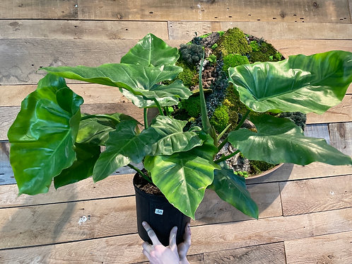 """Philodendron 'Giganteum' 10"""""""