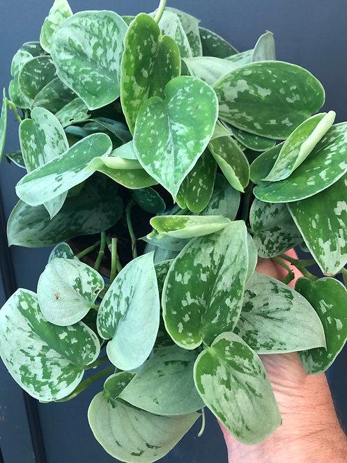 Scindapsis ( Pothos Silver Satin)