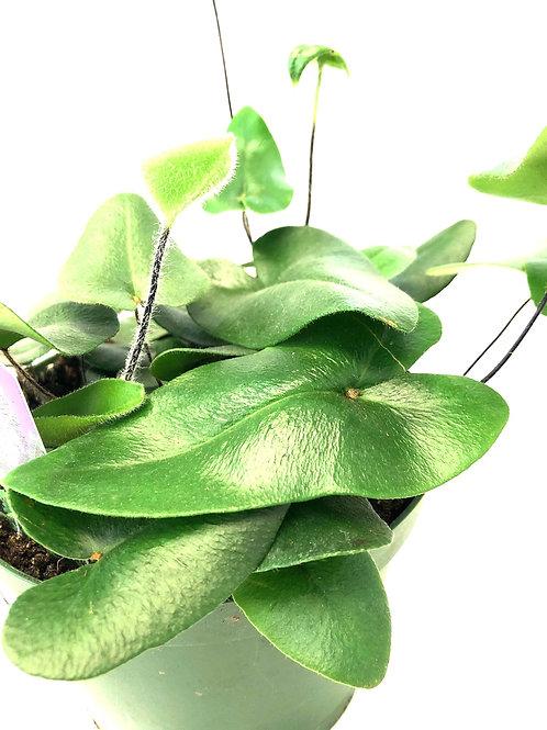 """Heart Leaf Fern 6"""" pot size"""