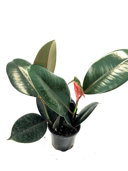 """Ficus Elastica 4"""""""