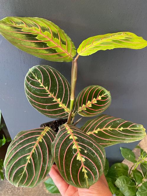 Red Maranta -Prayer Plant