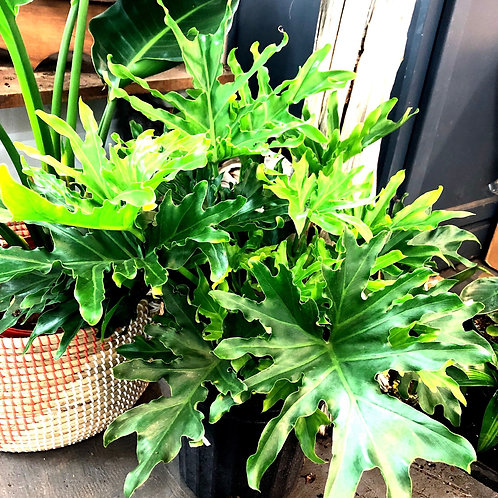 """Philodendron 'Lickety Split' 8"""" pot"""