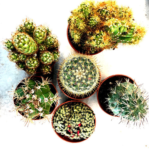 Cactus Assorted 2.5""