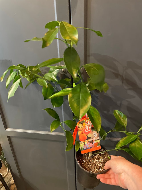 Navel Orange Tree 5 gallon pot