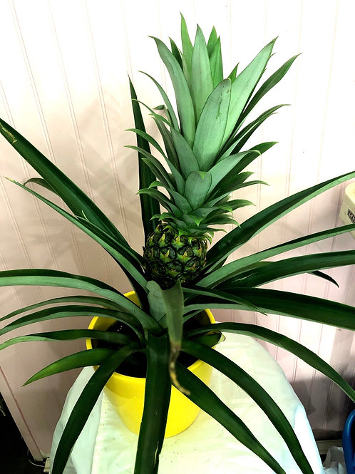 "Pineapple Plant 6"" pot"