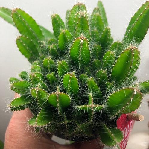 "Dragon Fruit Cactus 4"""