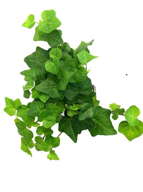 "English Ivy 4"""