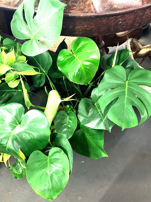 "Philodendron Monstera  Deliciosa Vine in 10"" pot"