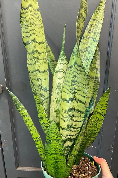 Sansevieria ' zeylanica'