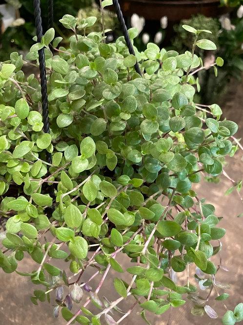 "Turtle Plant 4.5"""