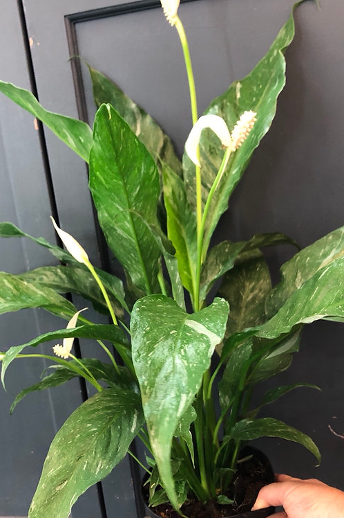 """Variegated Peace Lily 'Dominoe' 6"""" pot"""