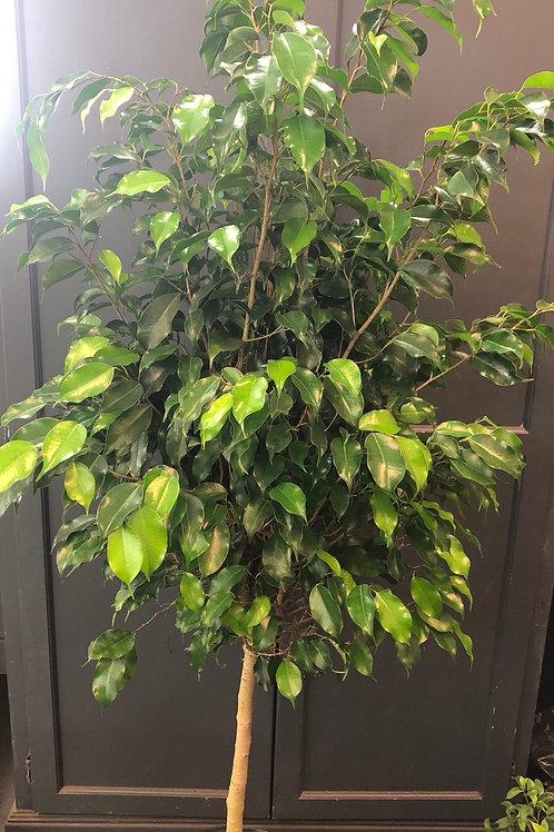"""Ficus Benjamina ' Midnight' standard 10"""" pot"""