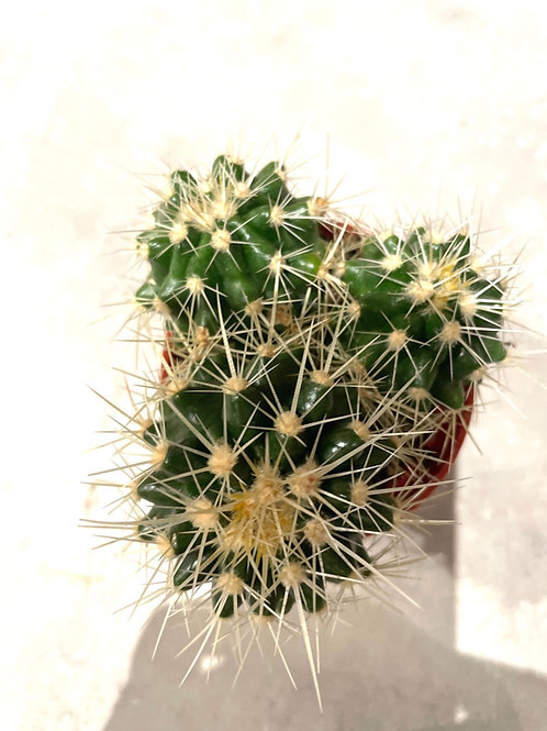 Cactus ' Golden Barrel'