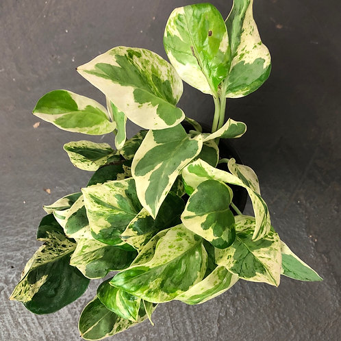 """Pothos ' Pearl and Jade' 4.5"""" pot size"""