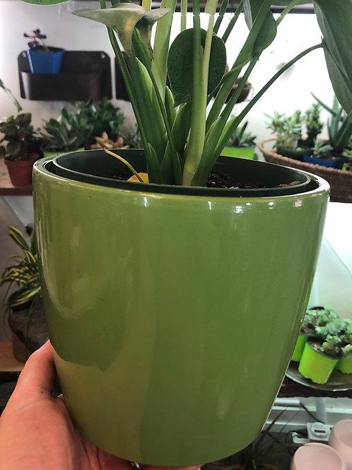 """Grassy Green 6"""" pot"""