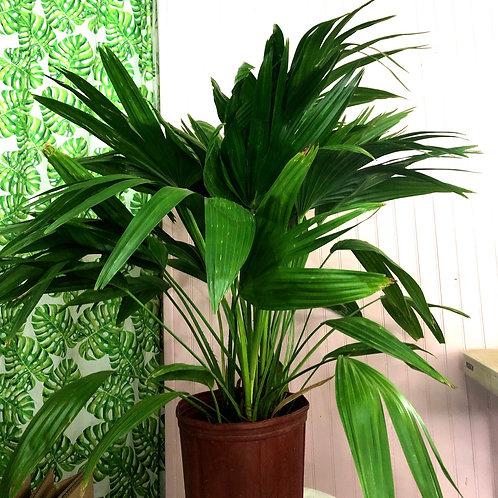 """Palm 'Chinese Fan' 10"""" pot size"""