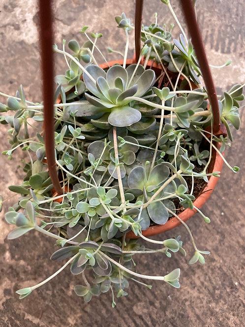 Dunce Cap Succulent