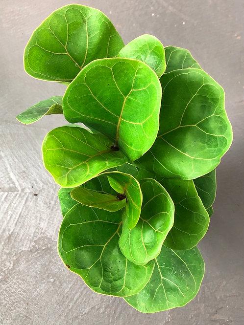 "Ficus Lyatra ( Fiddle Fig) 6"" pot size"