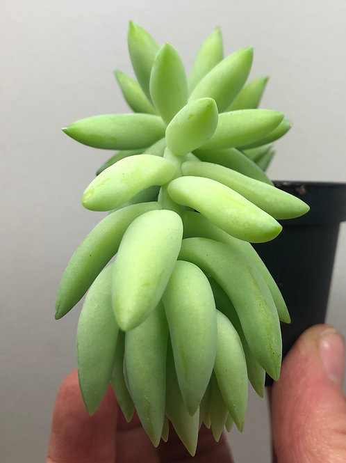 Donkeys Tail Succulent 3""
