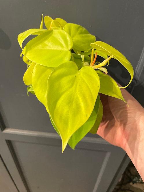Philodendron Cordatum 'Lemon' ( Vine)