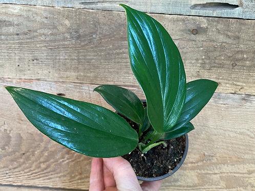 """Rhaphidophora Decursiva ( Creeping Philodendron) 4"""""""