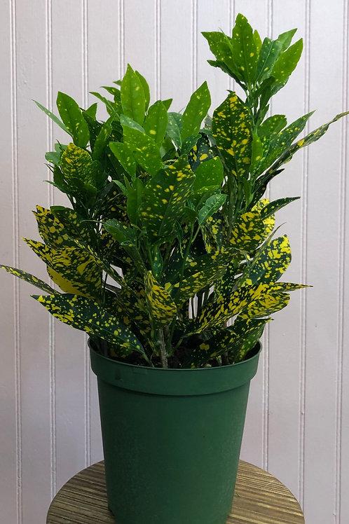 "Croton 'Golddust' 6"" pot"