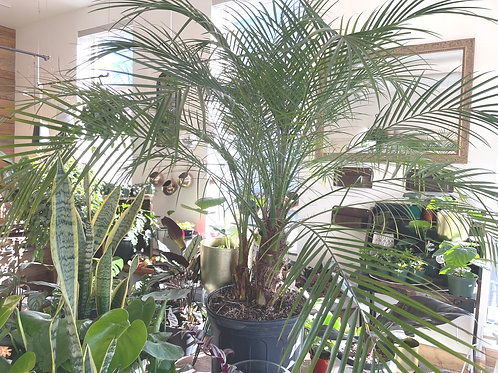 "Palm 'Pigmy Palm 10"""