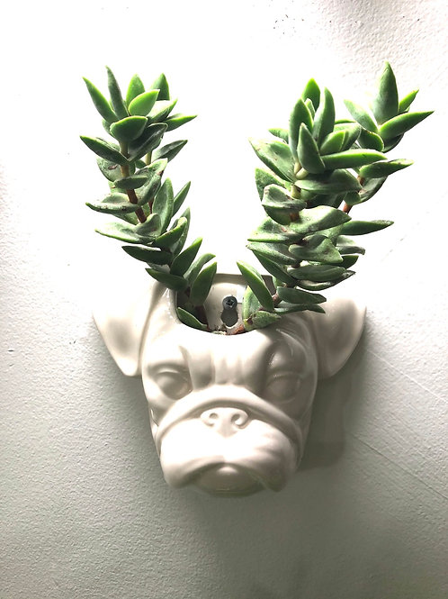 "Mounted Pug Head (3"" opening )"