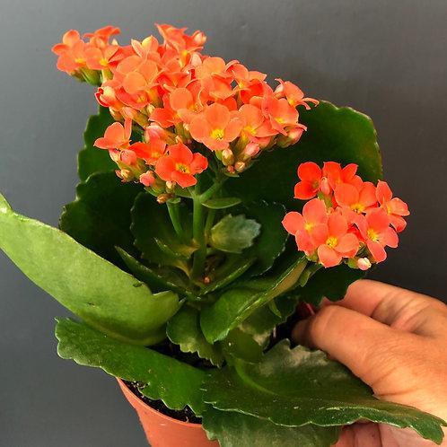 """Orangey Red Flowering Kalanchoe 4"""""""