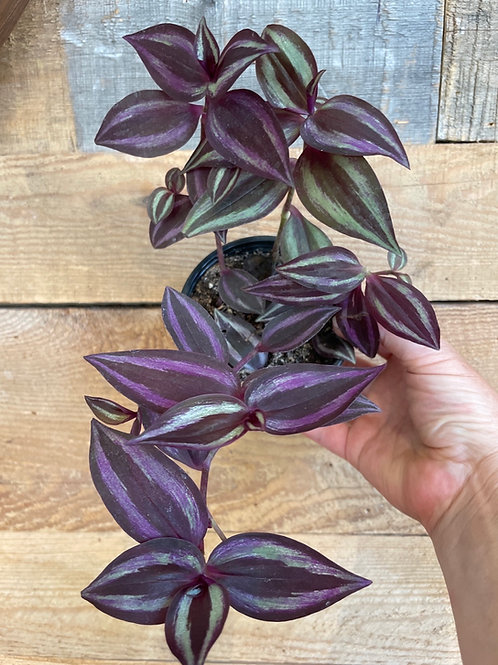 "Tradescantia Purple 4"""