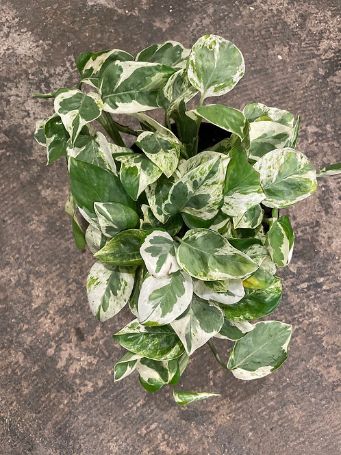 """Pothos Pearl and Jade 6"""""""
