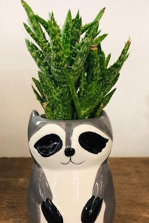 """Wee Raccoon Pot 3"""""""