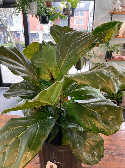 """Ficus Lyrata 10"""" (2ft tall bushy)"""
