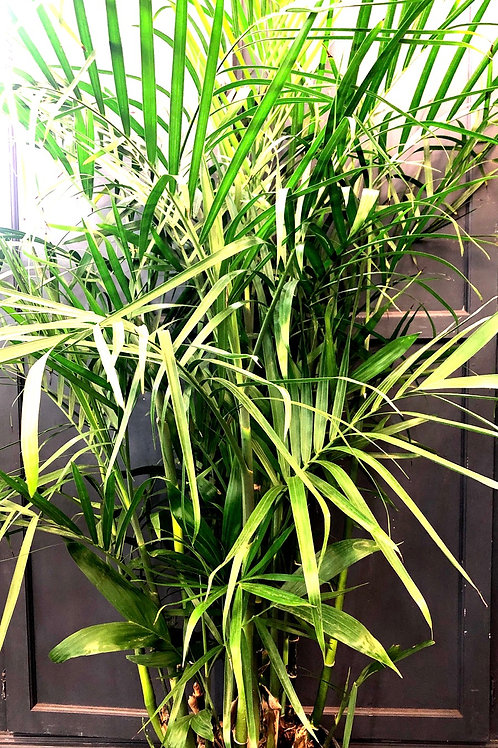 """Bamboo Palm 10"""" pot"""