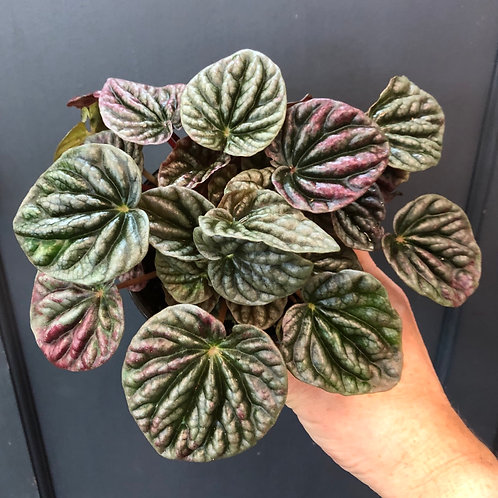 Peperomia 'Ripple' Assorted ( Red or Frost)