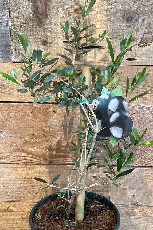 Olive Tree 3 gallon pot