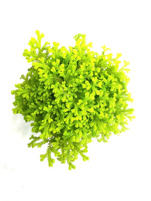 "Golden Moss fern in 4"" pot"
