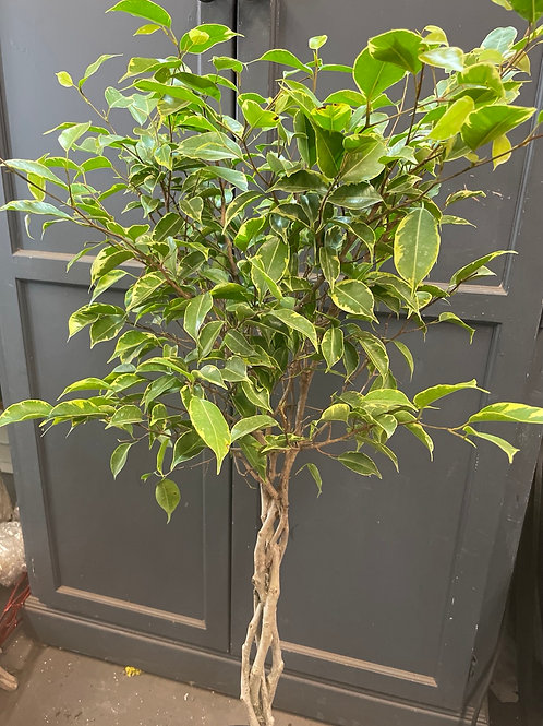 "Ficus Benjamina Braided Stem Variegated 10"" Pot"