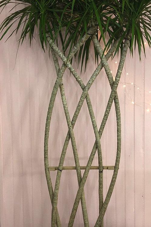 Draceana Marginata in an Open Weave
