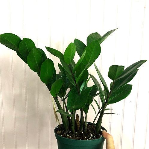 "ZZ Plant 6"" pot size"