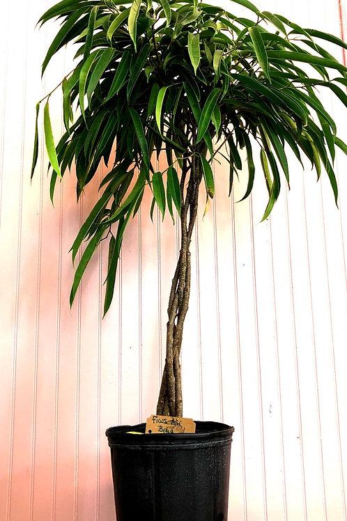 """Ficus 'Alii' in a 10"""" pot"""