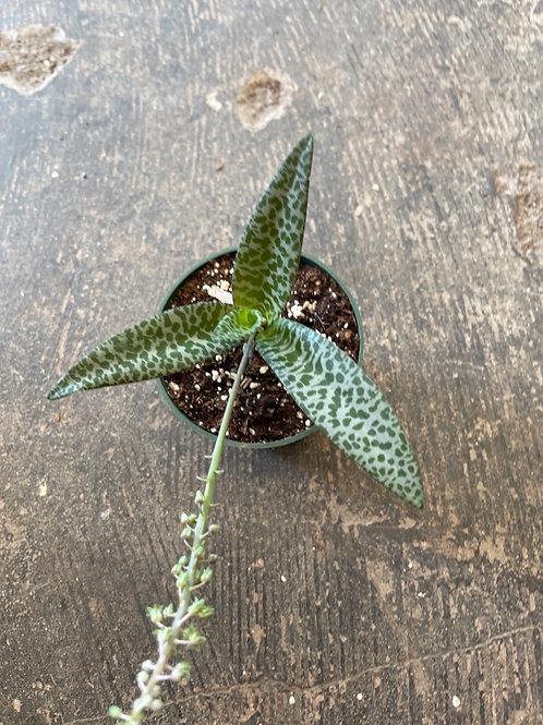 Scilla - Ledebouria( Leopard Lily)