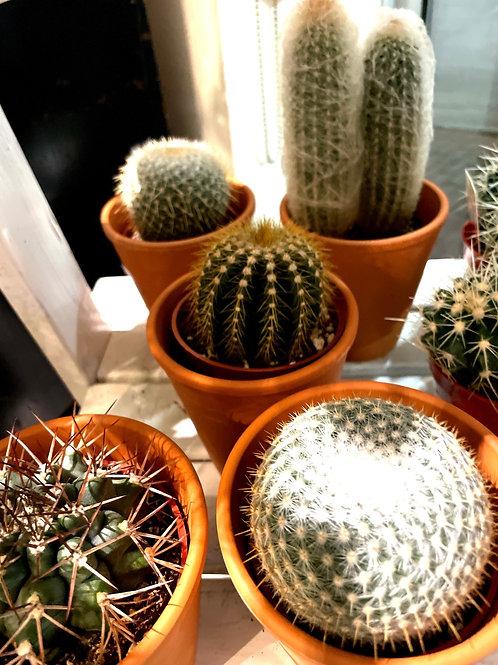 """Cactus Assorted 4"""""""
